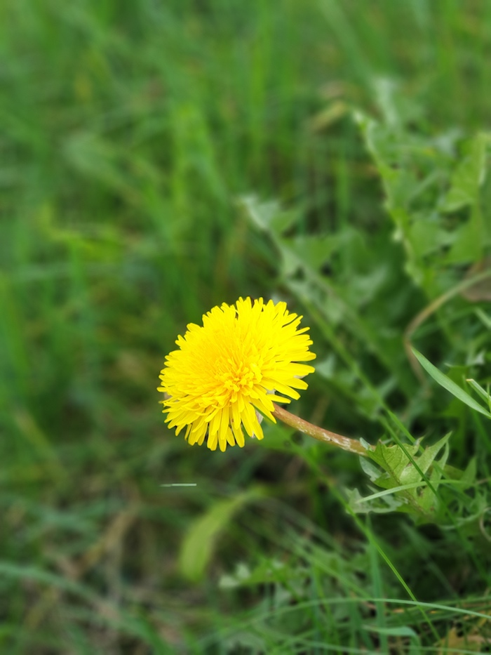 dandelion flower closeup